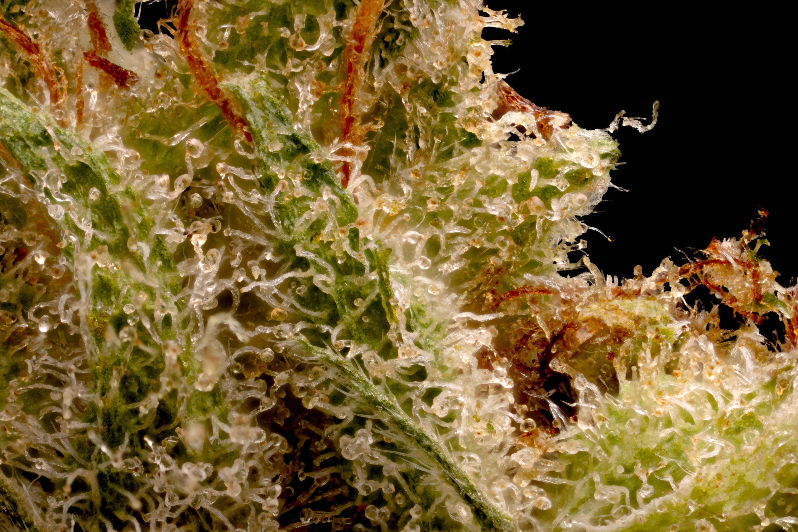 Mango Haze trichome close up.