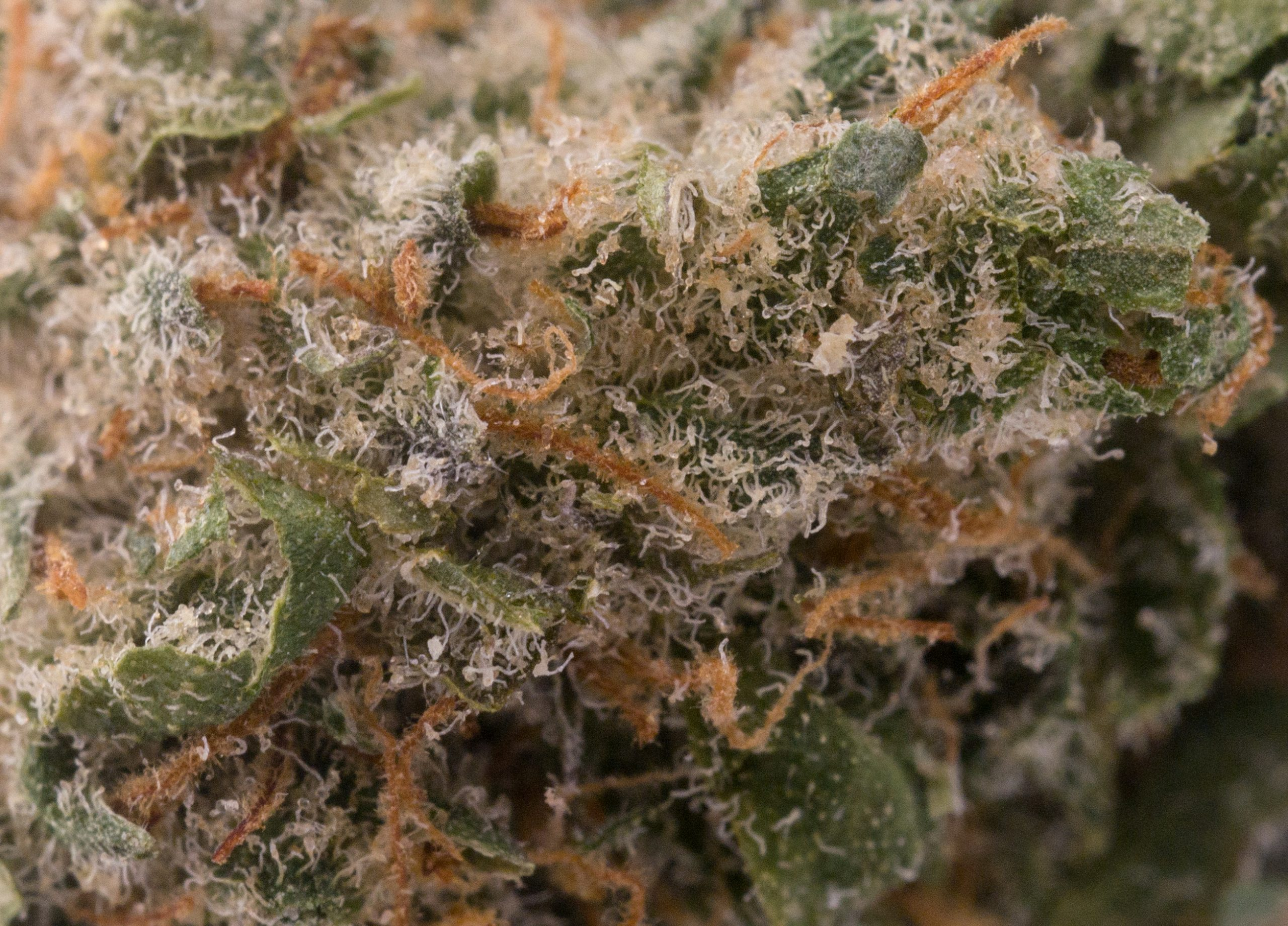 Fairly dense cloudy white trichomes