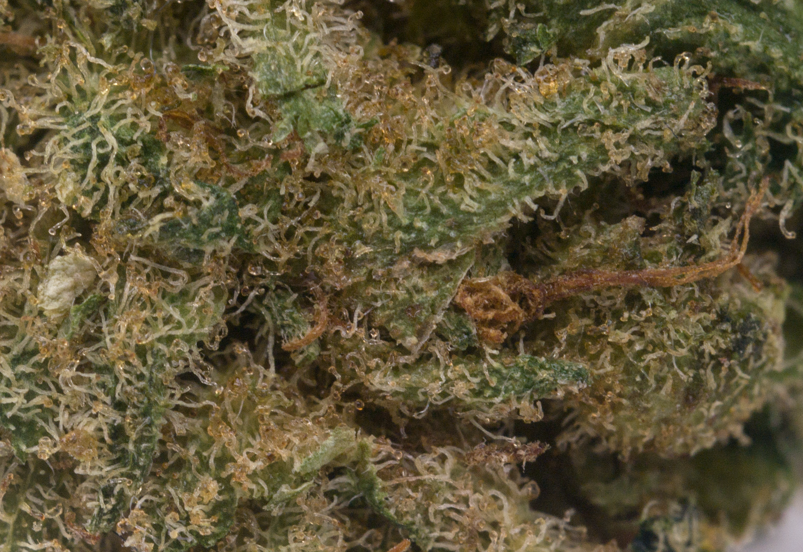 Macro showing large amount of amber trichomes and some damaged trichomes